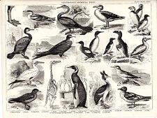 ORNITHOLOGY - SWIMMING BIRDS - STEEL-ENGRAVED ENCYCLOPAEDIA ILLUSTRATION(c.1880)
