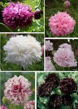 Nuevo * 100 Semillas de Calidad Oriental Poppy PAPAVER Púrpura Multi vástago Flores crecimiento