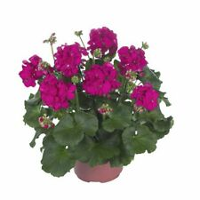 30 Geranium Maestro Idols Neon Violet Live Plants Plugs Diy Planters D10002