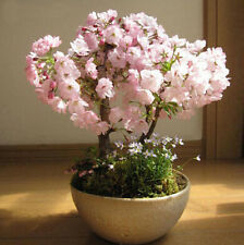 Cherry Sakura seeds Bonsai Seeds Japanese Bonsai Tree 20PCS Blossoms Flower