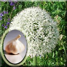 3 Allium Bulb - Mount Everest Allium Plant Bulb