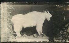 C-1910 Taxidermy Mountain Goat RPPC real Photo postcard 3061