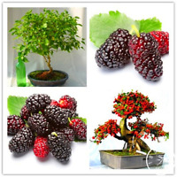 200 PCS Seeds Mulberry Bags Fruit Garden Bonsai Morus Nigra Tree Black NEW 2019