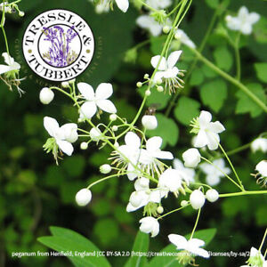 Rare Thalictrum delavayi 'ALBUM' hardy perennial 5 seeds UK SELLER