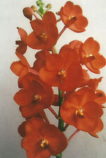 Orchid Vanda Roselyns Best Somdang Orange …………… Stock #392-9