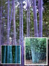 Blauer Bambus - Bambusa textilis / winterhart bis etwa  -10°  I frische  Samen