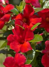 Mandevilla- 'Giant Crimson'  3-inch pot