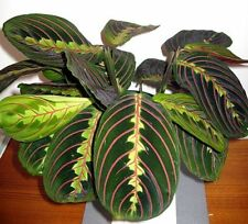 "Red Prayer Live Plant - Maranta - Easy to Grow growing House plant in a 4"" Pot"