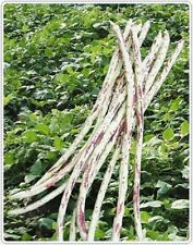 Tiger Asparagus Bean 20 seed Yard Long Beans Seeds red-seeded strain
