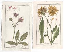 1779 Zorn Icones Plantarum two Antique Botanical Scorzonera, Scabiosa