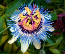 Blue Indigo Passion Flower Vine 5 seeds.Beautiful Edible Fruit.home grown