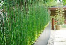 Equisetum Hyemale Miniature Bamboo Plant (Scouring Rush, Snake Grass)