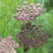 "DAUCUS CAROTA ""DARA"" ""Chocolate Lace Flower"" Ornemental Wild Carrot 50 Seeds"