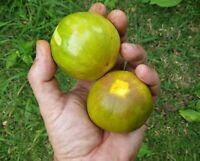 1 SPROUTED seed of Pouteria macrophylla - Taturuba - Rare Tropical Fruit