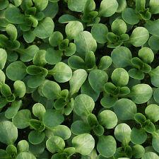 Corn Salad - Vit - 450 Seeds
