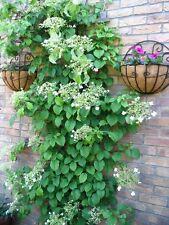 50 CLIMBING HYDRANGEA White Flower Vine Seeds *Comb S/H