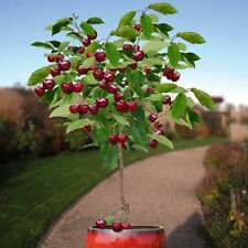 30 pcs Seeds Cherry Tree Seeds  DWARF VALENTINE Dwarf Sour Cherries  GMO FREE