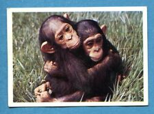 Figurina Panini-ANIMALI DI TUTTO IL MONDO 1965-n.36 - SCIMPANZE' -rec