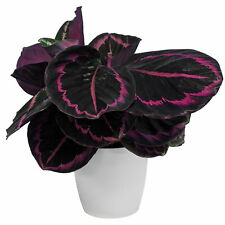Calathea Surprise Star Indoor Plant for Home or Office (25-35cm Incl Pot)