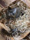 taxidermy squirrel mount Sleeping in Nest