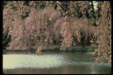 148044 Cherry Blossoms Brooklyn GIARDINI BOTANICI A4 FOTO STAMPA