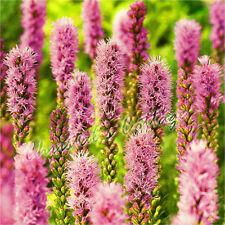 10 LIATRIS SPICATA GAYFEATHER GARDEN BULB  CORM SPRING GROWING SUMMER FLOWERING