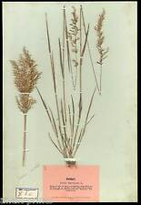 HERBARIUM - Futtergräser und Kleearten um 1900 Pflanzen - Klee - Gräser - Gras