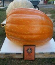 329 lb giant pumpkin seeds - HD Winner - Atlantic Giant