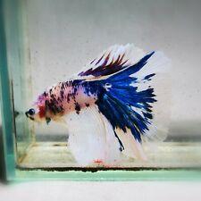 Live Betta Fish - Male - Koi Blue Marble Halfmoon (AMMAUG94) (High-Grade)