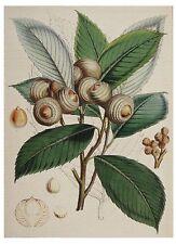 Postcard Walter H Fitch Himalayan Botanical Drawing Quercus Lamellosa MINT