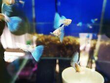 10X Guppy Male&Female Abino Tuxedo Blue live fish Breeding Guppies Aquariums