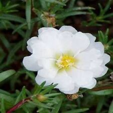 Moss Rose- Portulaca- White- 200 Seeds - - BOGO 50% off SALE