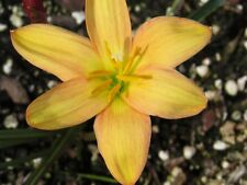 Rain Lily, Zephyranthes Golden Mango, 1 bulb, NEW, habranthus