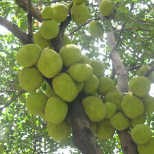 10seeds Jackfruit (Artocarpus altilis)Seed Tropical Novelty Largest Fruit Seed