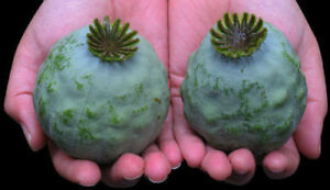 The Giant Poppy - Papaver setigerum - 50+ seeds - Graines - HUGE and BEAUTIFUL!