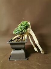 Bonsai tree tanuki   needle juniper shohin size project  updated photos 15 July
