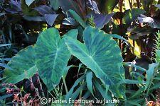 Colocasia Lime Aide ° Limeade ° Oreille d'éléphant ° 1 plant en godet