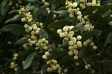 8 graines de MIMOSA A BOIS NOIR (Acacia Melanoxylon)G856 BLACKWOOD WATTLE SEEDS