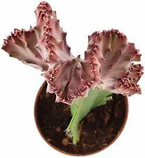 """Euphorbia lactea """"Cristata"""" - bizarre Sukkulente - pflegeleichte Zimmerpflanze"""