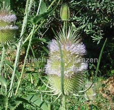 Wilde Karde Dipsacus sylvestris 30 Samen grosse Heilpflanze Kräuterwiese Bienen