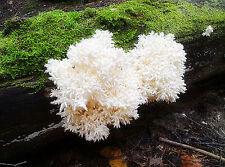 Hericium coralloides Mushroom / Mycelium Spores Spawn Dried Seeds