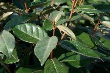 Wintergrüne Ölweide Elaeagnus ebbingei 40-60 cm im Container