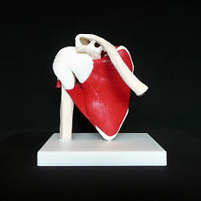 Anatomical Advanced Muscled Shoulder Joint Model - Medical Anatomy Skeleton