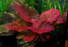 2 x RED Nymphaea rubra water lily bulb live aquarium plant fish betta hide