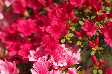Rhododendron Excelsior / Japanese Azalea 20-30cm Tall In 2L Pot