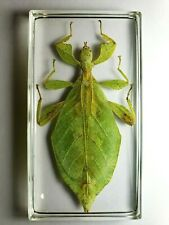 PHYLLIUM HAUSLEITHNERI. Real leaf mimic insect resin encapsulation