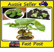 Mini Kiwi Fruit Tree Seeds Potted Plants Rich Miniture Fruit Trees 100 Seed Lots