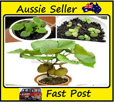 Mini Kiwi Fruit Seeds Potted Plants Mini Tree Rich Fruit Trees Kiwi Seeds 100Pcs
