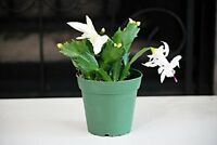 "Live Rare White Christmas Cactus Plant - Zygocactus - 4"" Pot Mature Indoor House"