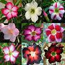 5x Desert Rose Adenium Obesum Fresh Viable Seeds, Selection Varieties-UK Supply